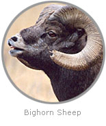 photo of a Bighorn Sheep