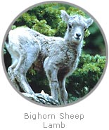 photo of a Bighorn Sheep lamb