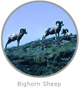 photo of Bighorn Sheep