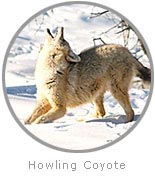 Photo of a howling Coyote