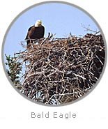 photo of a Bald Eagle on a nest