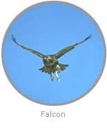 Photo of a Falcon