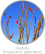 photo of an Ocotillo plant