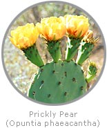 photo of a Prickly Pear cactus